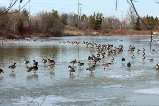 Canadian geese at rest