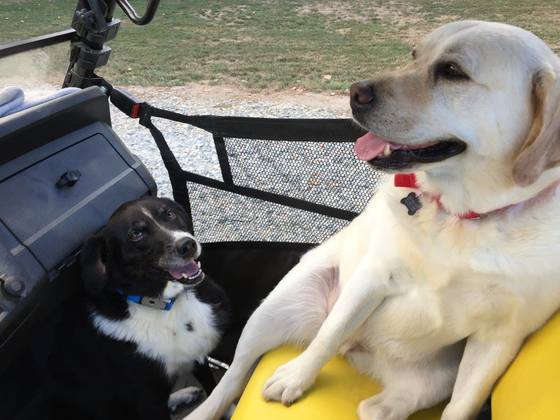 Mattie our Border Collie-brittany spaniel mix 11 years old and Carlee yellow lab