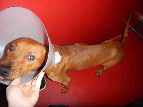 Echo, 1yo puppy with hurt leg, a kissing bandit!
