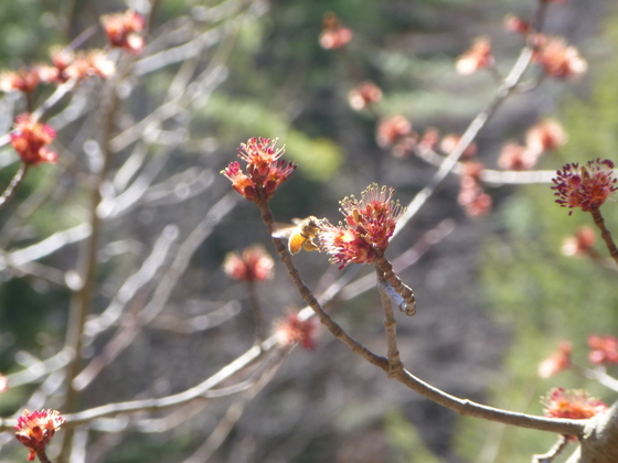 Maple blossoms and the Honey Bee