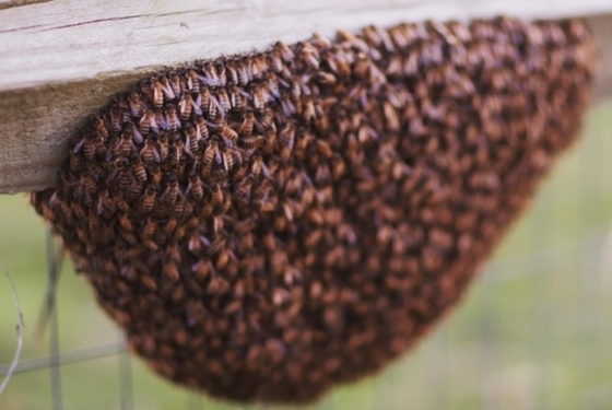 Bee swarm saved in Lancaster County