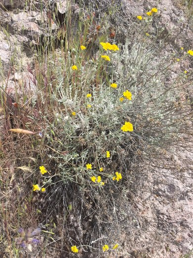 Wildflowers in Pinnacles National Park