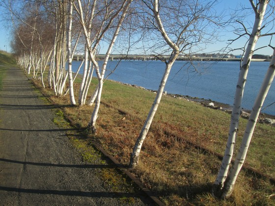 Sunlight on Birch Trees