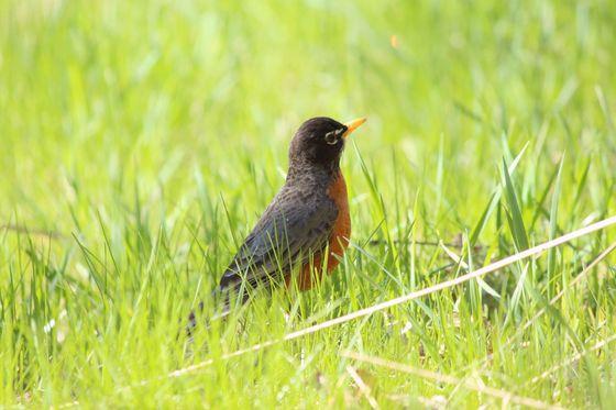 Spring robin #1