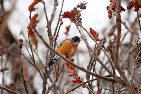Spring robin #2
