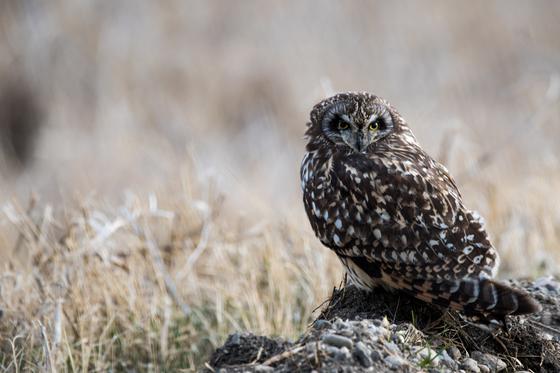 Short Eared Owl on the Prairies