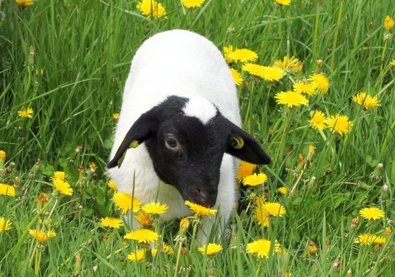 Spring lamb: stopping to smell the flowers