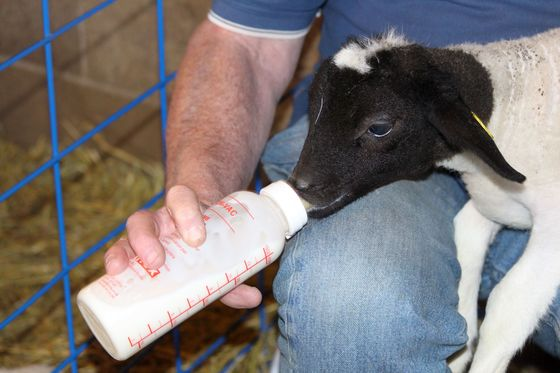 Baby lamb's bottle