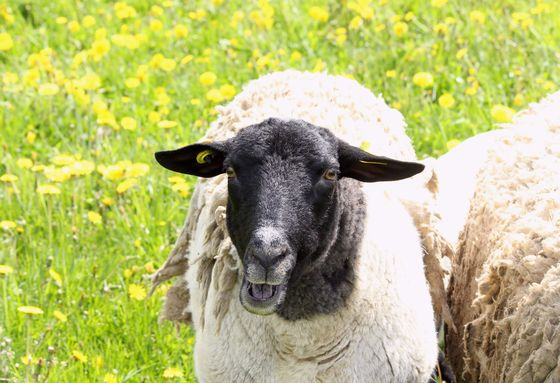 Vocal sheep