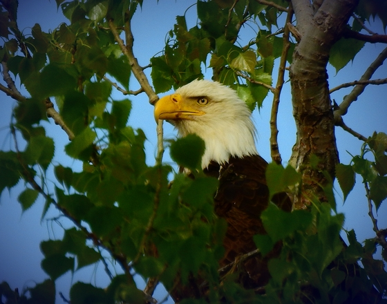 eagle at Chalco Hiils recrestion area