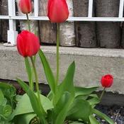 meme les tulipes ont froid!!!!