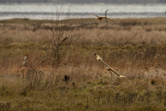SHORT EARED OWL VS HERRIER