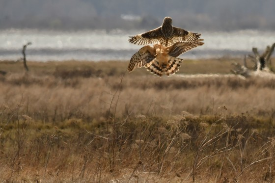 SHORT EARED OWL VS HERRIER