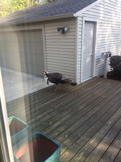 Turkey on the deck