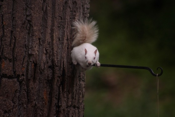 Albino Squirrel in York, PA