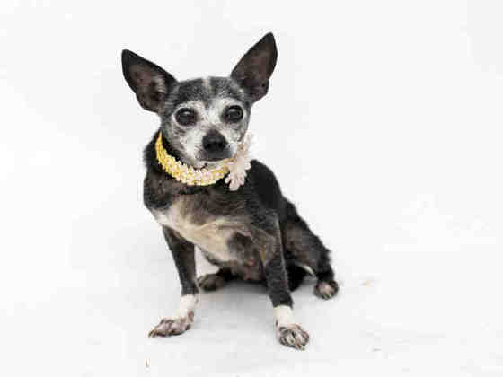 Leila, lovely little Chi senior, healthy, adorable