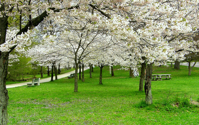 High Park Cherry Blossoms High Park, Toronto, ON
