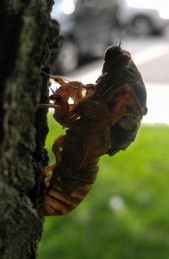 Cicada emerging