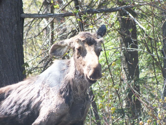 Smiling Moose? Algonquin Park, ON