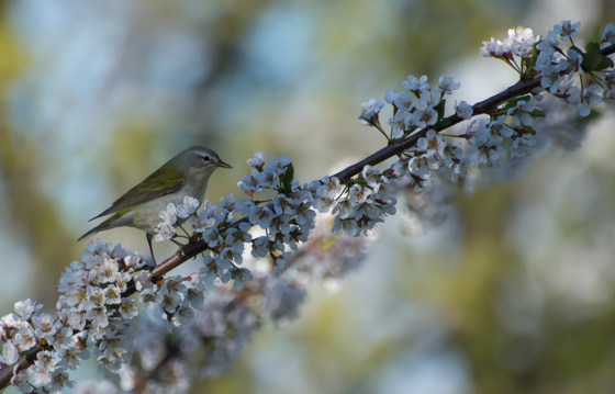 Tennessee Warbler and Plum tree flowering