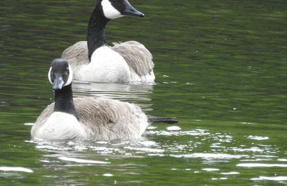 Geese At Wilson Park