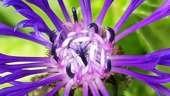 cornflower macro