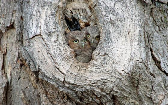 Eastern Screech Owlets