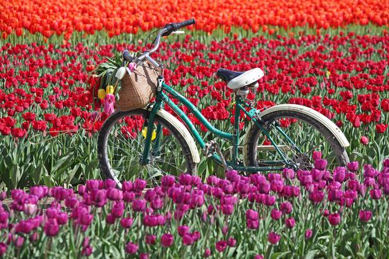Tulips and Bike