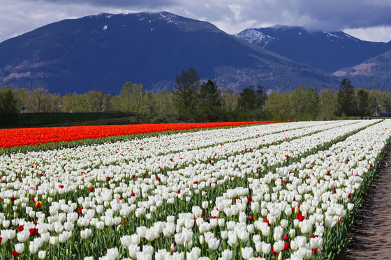 Tulips & Mountains