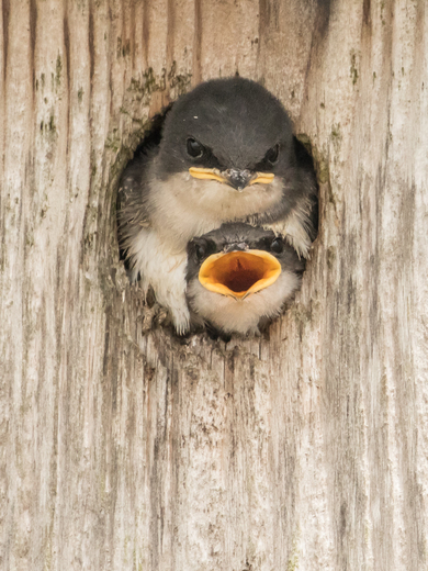 Young Tree Swallows (4227)