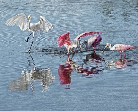 Spoonbills Feeding at Low Tide