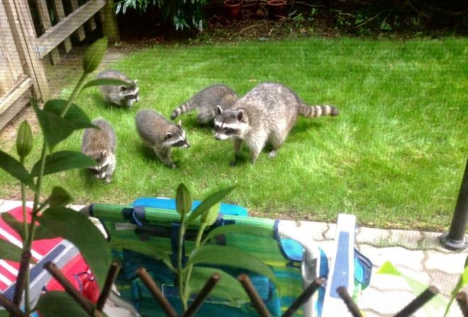 Delicieux Raccoons In My Backyard.