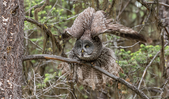 Great Gray Owl Stretching her wings