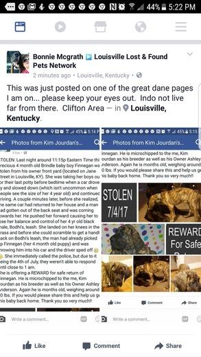 Stolen Great Dane Puppy