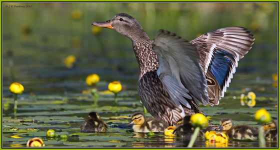 Momma Mallard with young