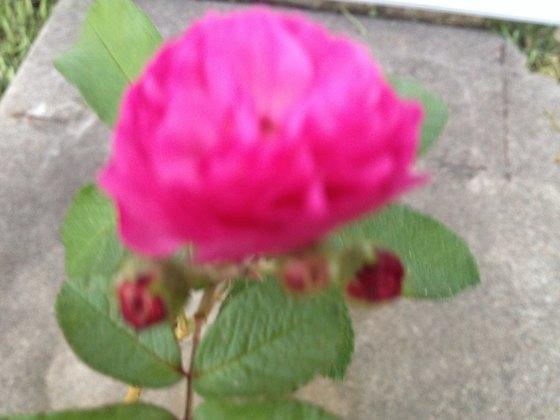 My Baby Rose
