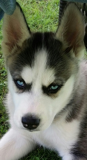 Ryker the rescue Husky puppy