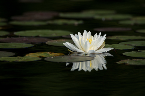 Water Lily and Lily-pads