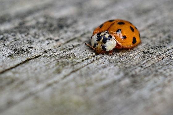 Asian Beetle