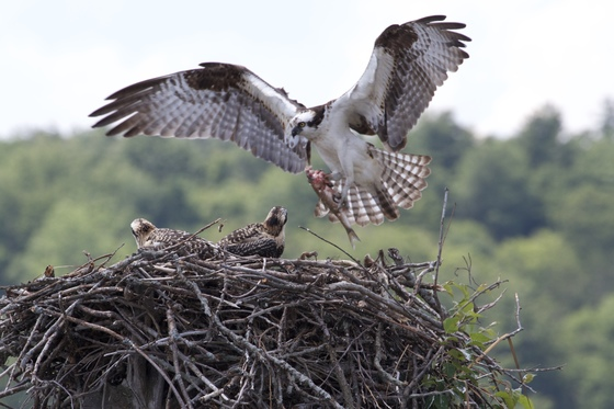 Osprey Nest on Lake Arrowhead (Milton, Vermont)