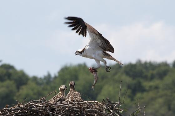 Osprey Nest on Lake Arrowhead (Milton, Vermont)