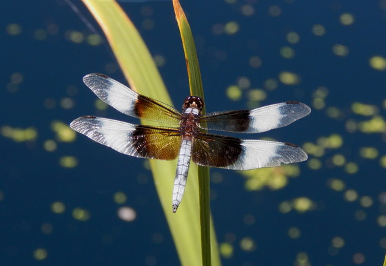 Widow Darter Dragonfly