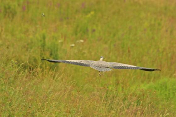 Blue Heron and drigon Fly
