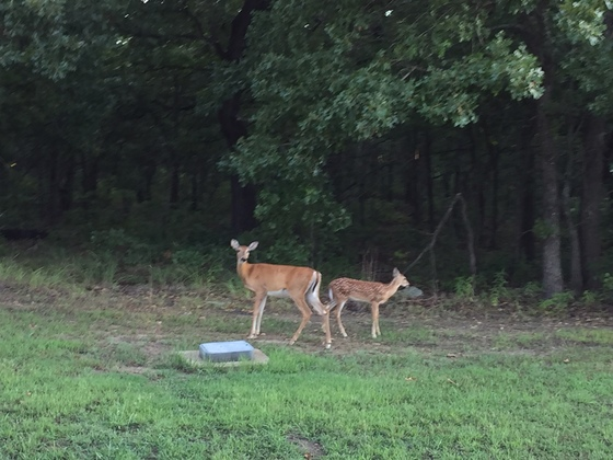 Mother and baby white tail