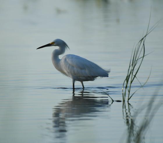 Snowy Egret at Gordons Pond