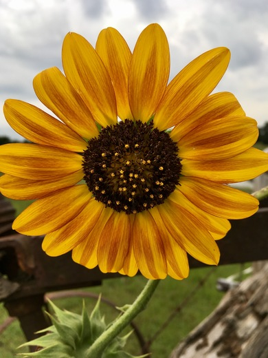 My sunflower!