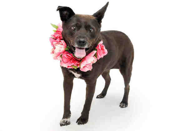 Cubby, Healthy and sweet, 9YO black shepherd mix girl