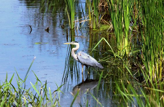 August young heron in the afternoon at the marsh