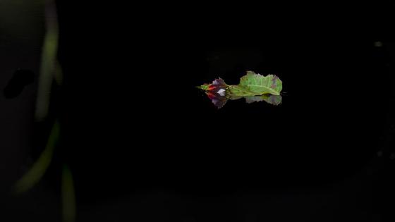 Leaf on a Pond