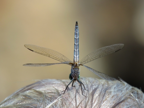 Dragonfly on her head